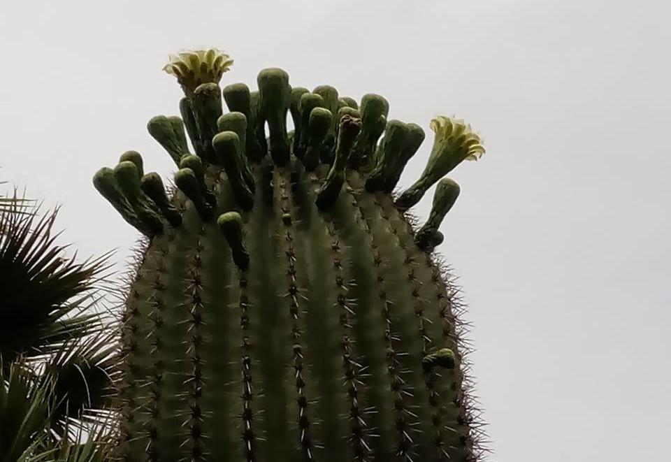 saguaro-in-fiore
